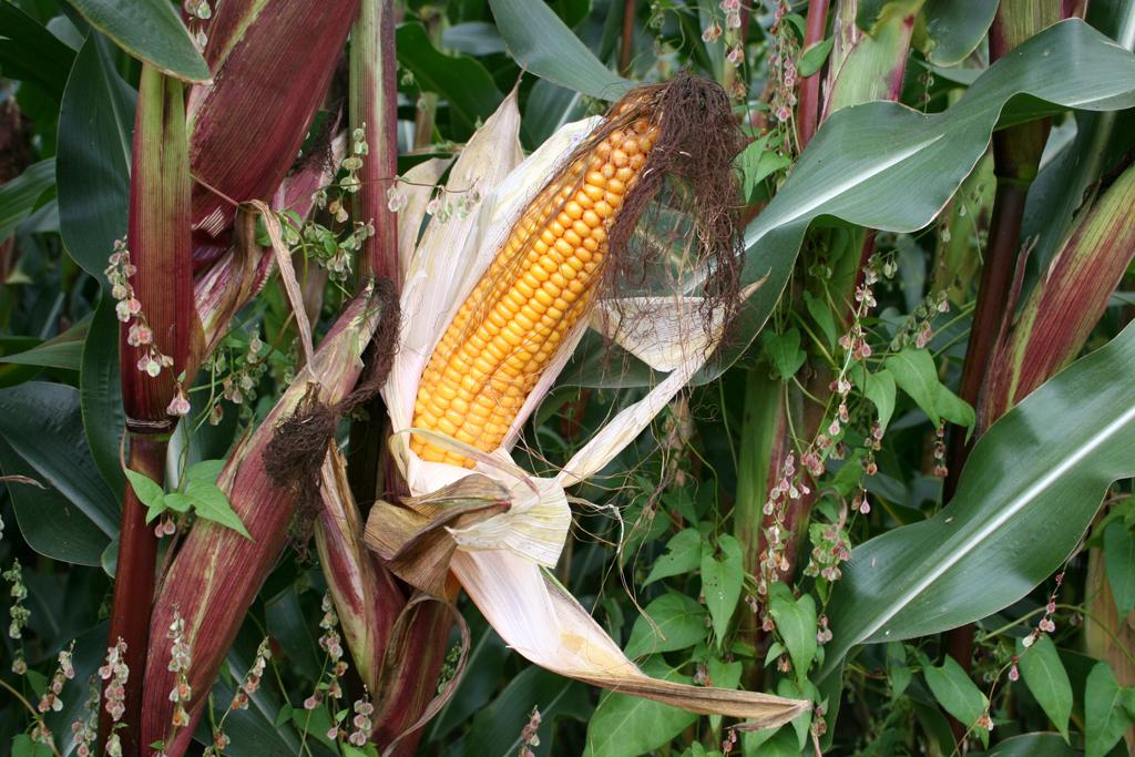Gentechnisch veraenderte Pflanzen beschleunigen den Biodiversitaetsverlust