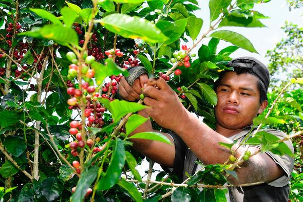 Ein Pflücker bei der Kaffeeernte